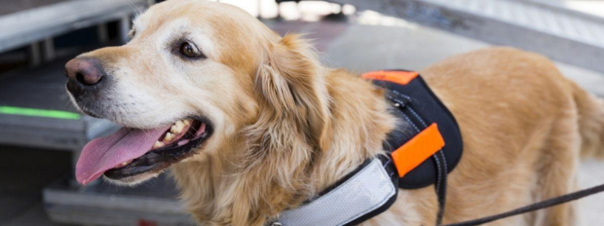 Service dog without owner could mean an emergency
